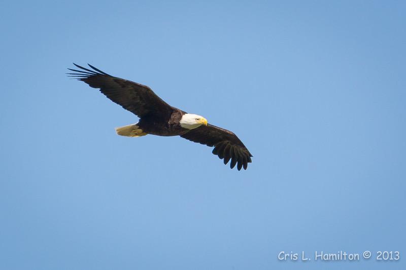 Bald Eagle-7324
