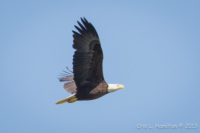 Bald Eagle-7340