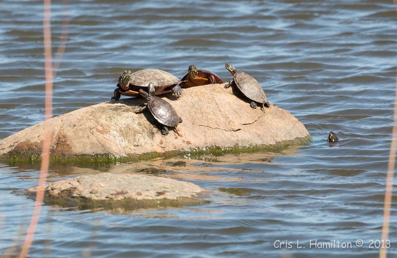Turtles-7360