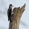 Woodpecker-7692