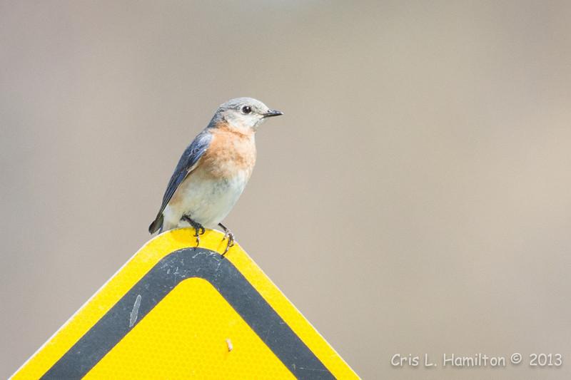 Bluebird Female-7105