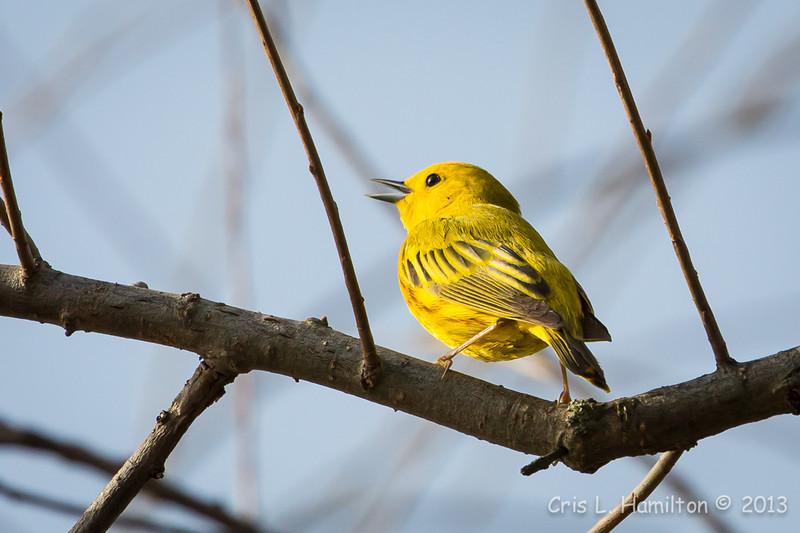 Yellow Warbler-7652