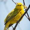 Yellow Warbler-7203