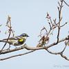 Yellow-Rumped Warbler-7677