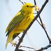 Yellow Warbler-7202