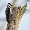 Woodpecker-7697