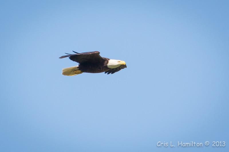 Bald Eagle-7328