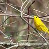 Yellow Warbler-7573