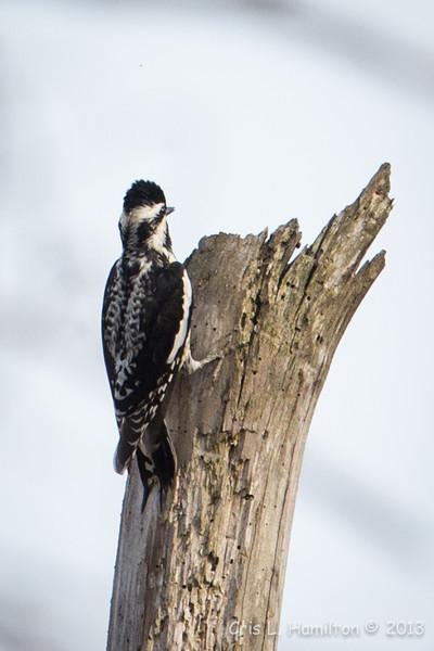 Woodpecker-7682