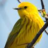 Yellow Warbler-7207