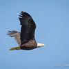 Bald Eagle-7344