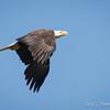 Bald Eagle-7339