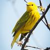 Yellow Warbler-7200