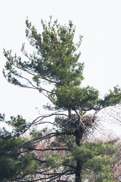 Bald Eagle & nest-7547