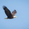 Bald Eagle-7333