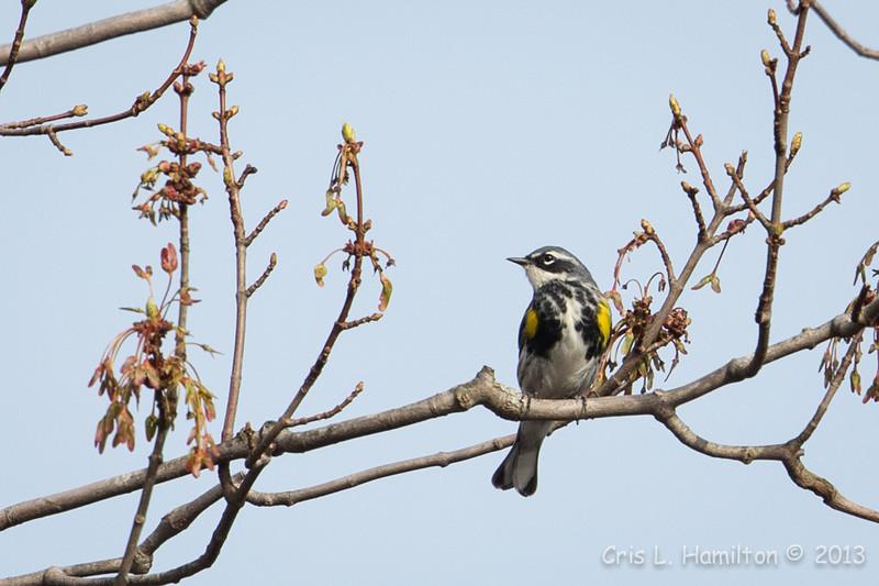 Yellow-Rumped Warbler-7680