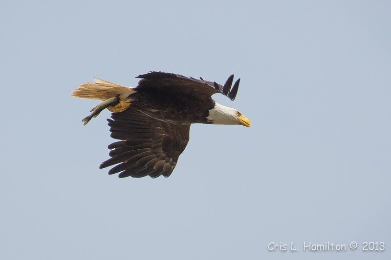 Bald Eagle w:fish-8555