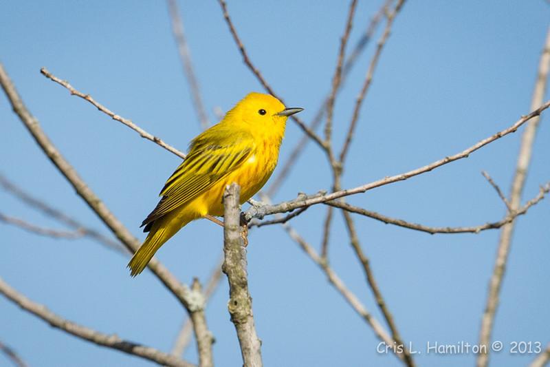 Yellow Warbler-8202