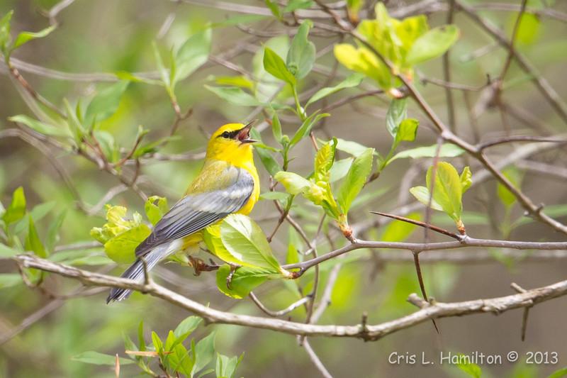 Blue-winged Warbler-8725