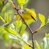 Blue-winged Warbler-8794