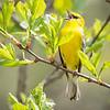 Blue-winged Warbler-8753
