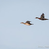 Wood Ducks flight-8071
