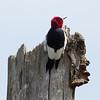 Red-headed Woodpecker-8567