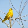 Yellow Warbler-8209