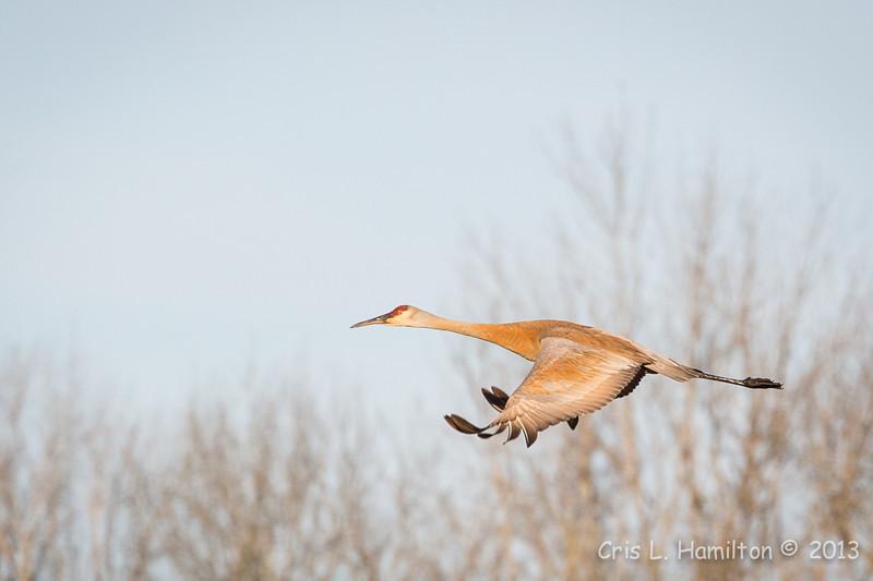 Sandhill Crane-8022