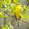 Blue-winged Warbler-8755