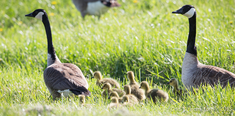 Canada Geese-8245