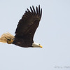 Bald Eagle w:fish-8556