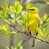 Blue-winged Warbler-8757