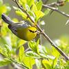 Blue-winged Warbler-8743