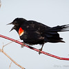 Red-Winged Blackbird-8067