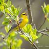 Blue-winged Warbler-8748