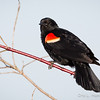 Red-Winged Blackbird-8065