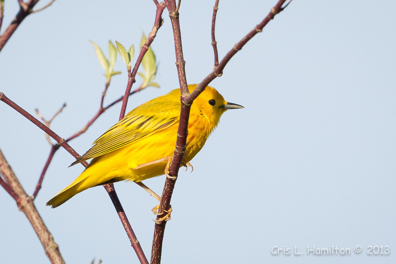 Yellow Warbler-8088