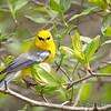 Blue-winged Warbler-8733