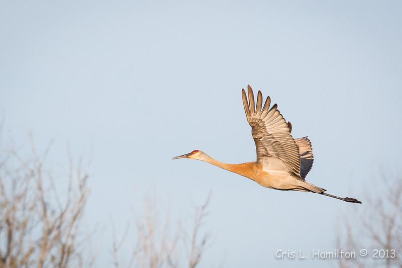 Sandhill Crane-8027