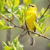 Blue-winged Warbler-8754