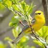 Blue-winged Warbler-8751