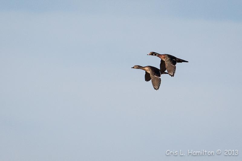 Wood Ducks Flight-8077