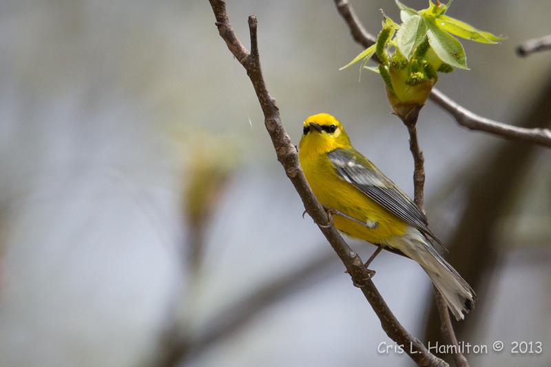 Blue-winged Warbler-8643
