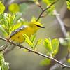 Blue-winged Warbler-8759