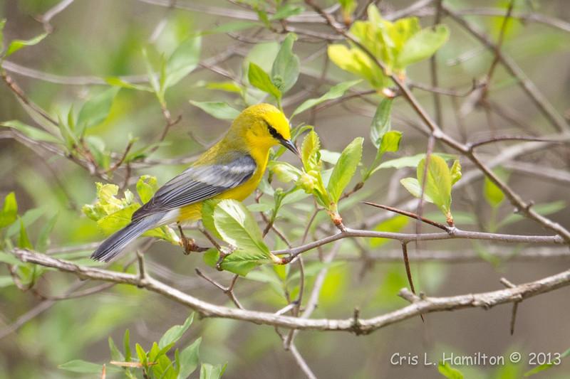 Blue-winged Warbler-8732