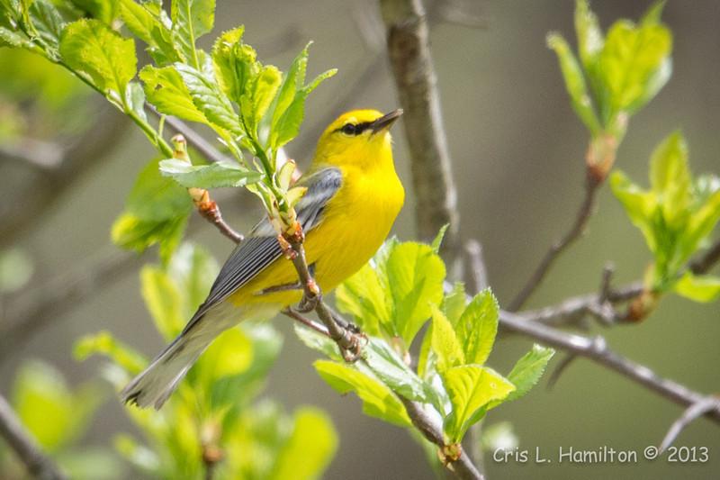 Blue-winged Warbler-8749