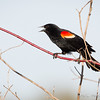 Red-Winged Blackbird-8059