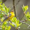 Blue-winged Warbler-8747