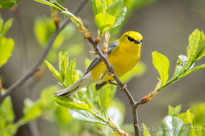 Blue-winged Warbler-8793